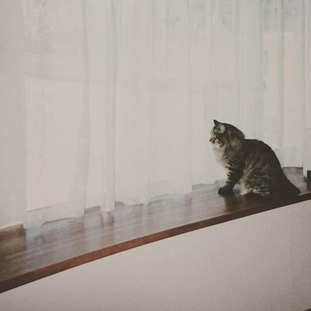 4月8日ちーくん月命日  ここもちーくん特等席の出窓 日向ぼっこしたり とーさんかーさんが帰ってくるの待ってたり🐱  外から見ると、ちーくんがすぅっと カーテンから顔だして「ニャー」って言ってるのが見える(^^) かーさんが玄関に向かうタイミングで シャっとカーテンから姿が見えなくなったら玄関でお出迎え😺♪ そんな姿を思い出すだけでまだ泣けてくるし、一周忌も済んで納骨しなきゃと思いながら、まだそばに置いておきたいし…  もう少し気持ちが落ち着くまでゆっくり考えよう  #ちーくん#猫#愛猫#ペルシャmix #cat#love#mahalo#虹の橋 #家族#息子#うちの長男#長寿猫 #18年と半年#ありがとうちーくん