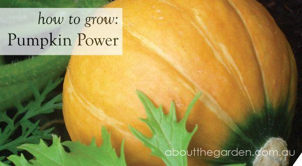 How to grow: Pumpkin Power during summer in Australia    #pumpkin #flower #garden #aboutthegarden