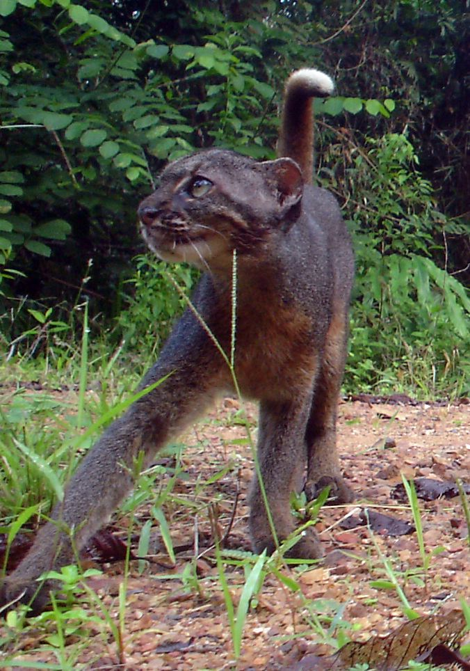 The first bay cat was photographed in 1998. Deforestation is threatening the species, which lives only on the island of Borneo.