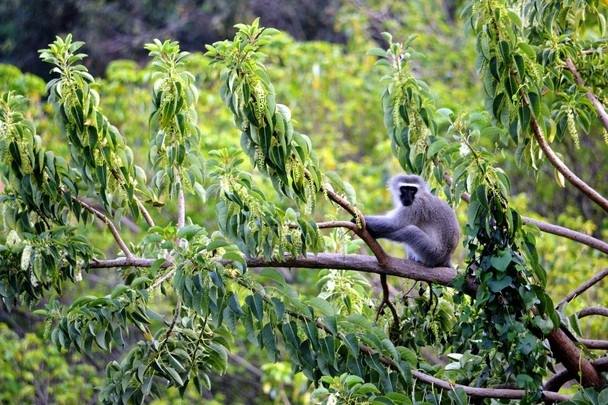 A monkey at home in the neighbourhood trees of La Lucia Durban, South Africa. Very cheeky monkeys.