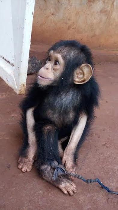 Baby Chimp Who Spent Months In Dark Room Finally Sees The Sun