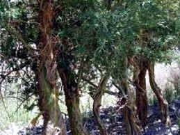 El chañar pertenece a ese grupo de árboles nativos que a fines de invierno y principios de primavera tienen una floración espectacular. Sus hojas caen en la temporada fría y lo primero que brotan son las flores. Por lo tanto se transforma en un gigantesco ramo de flores amarillas, de suave fragancia.
