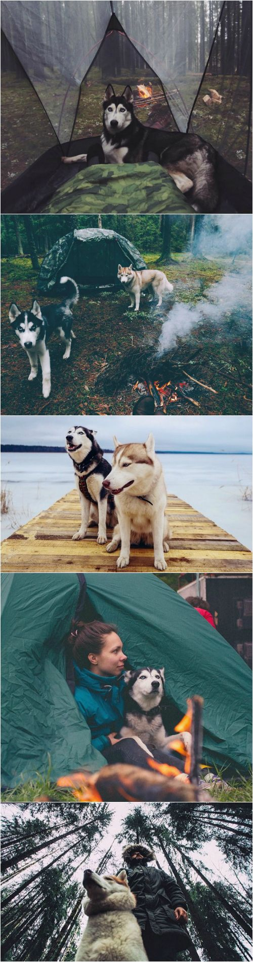 Siberian huskies make excellent partners for cold weather camping.