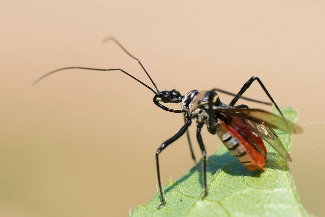 Kaeng Krachan National Park Thailand  | ... assassin bug - Kaeng Krachan National Park | Flickr - Photo Sharing