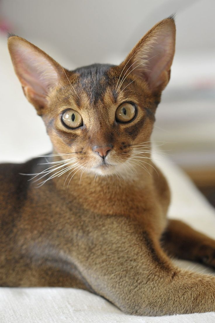 46 best Abyssinian Cats images on Pinterest | Beautiful, Beverage ...