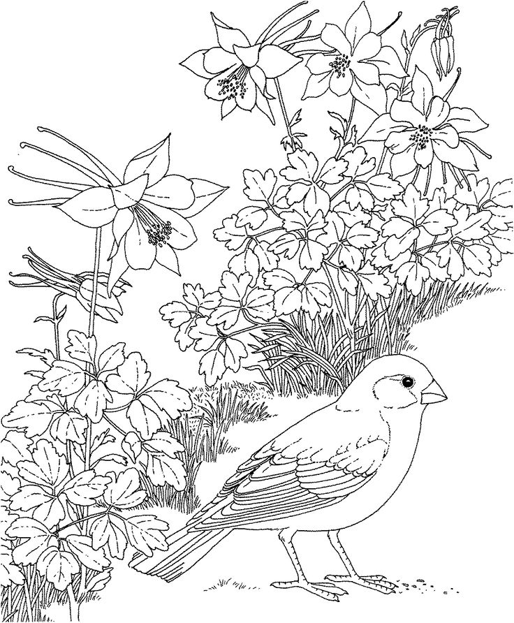 Free Printable Coloring Page...Colorado State Bird and Flower, Lark Bunting, Rocky Mountain Columbine, educational printables
