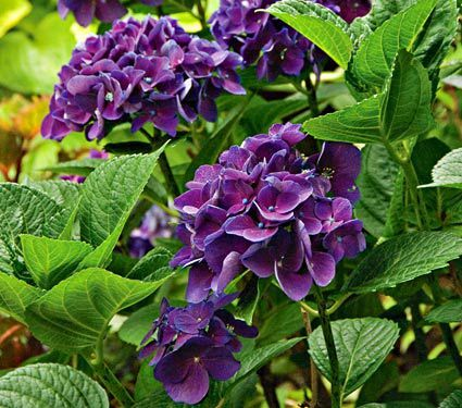 Hydrangea Macrophylla Color Fantasy®   Savor The Rich Colors Of This Little  Gem, With Its Reddish Or Deep Purple Flowers And Shiny, Dark Green Leaves.
