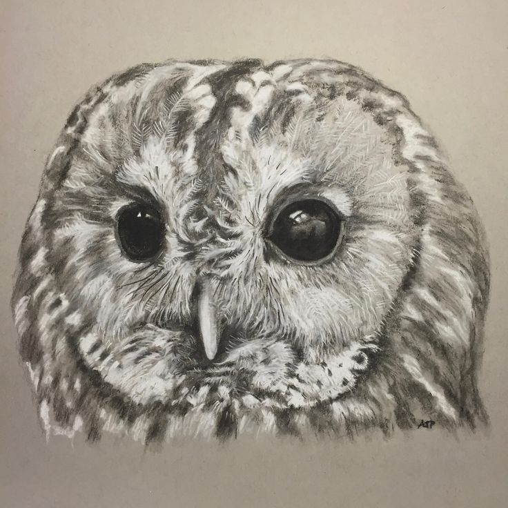 A portrait of a Tawny Owl by artist Andrew Prescott