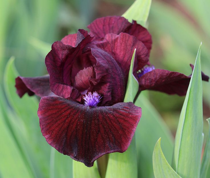 Iris 'Frankenberg' ~ Standard Dwarf Bearded Iris