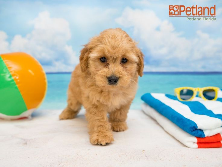 Available Goldendoodle Puppies Florida References
