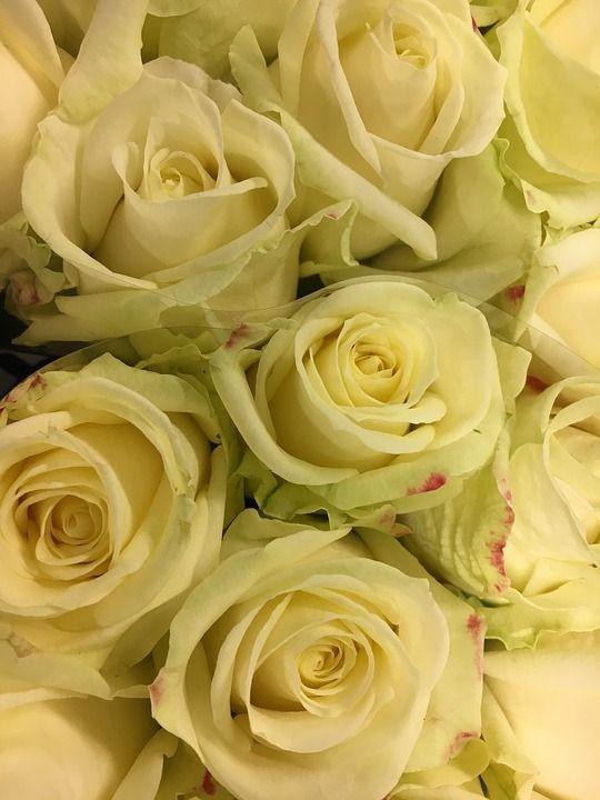 Roos, Bloemen, Bloem, Witte Bloem, Rozen, Bloeien