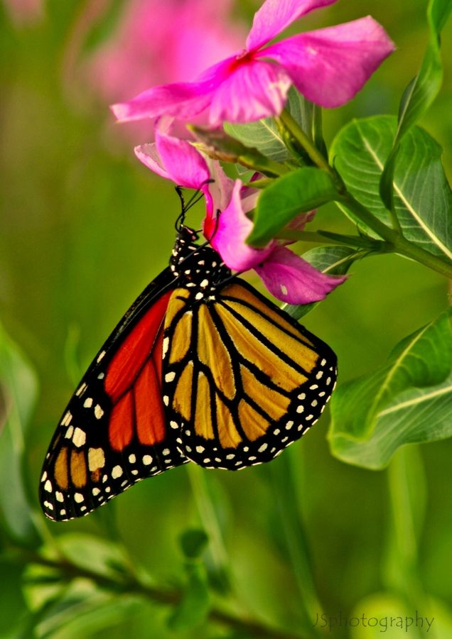 Sensatioanlly beautiful Monarcha butterfly! Una Monarca
