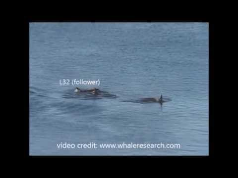 Laporan Penelitian: Kepemimpinan Paus Pembunuh (Orcinus orca) Pasca Menopause