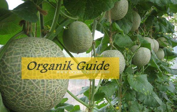 http://www.organikguide.com/2015/08/budidaya-melon.html