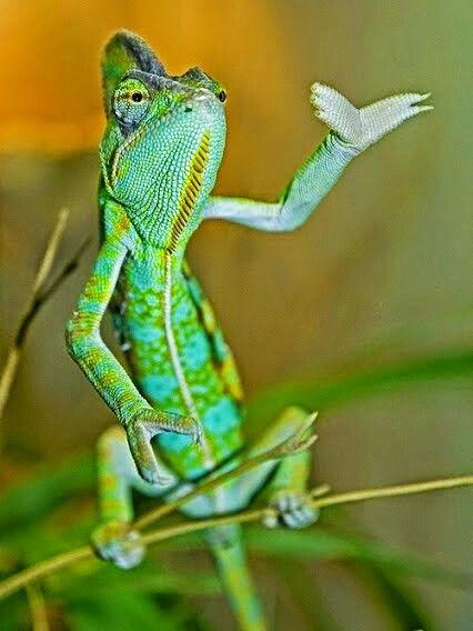 Zöld szalamander