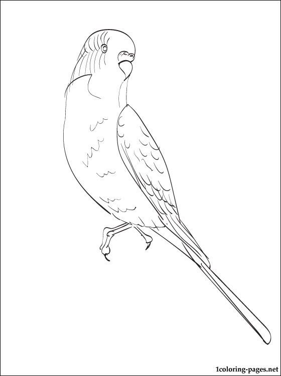 Budgie coloring page Coloring