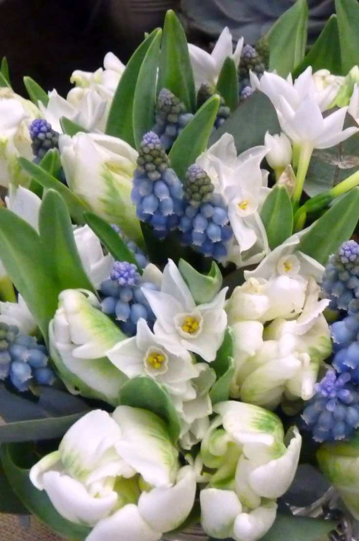 This bridal bouquet contains white narcissi, white parrot tulips, blue muscari and eucalyptus foliage.
