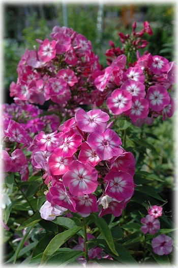 Volcano Phlox Pink With White Eye