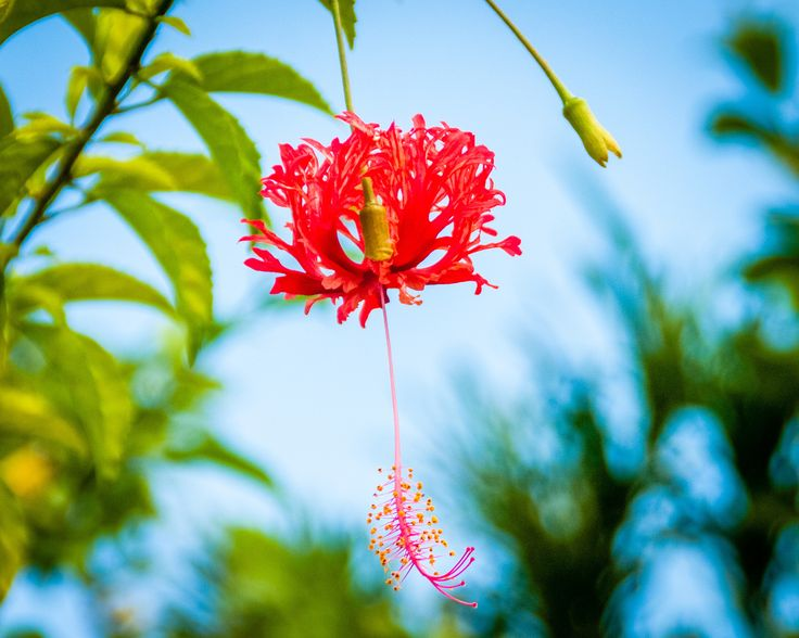 My Tobago Flower - I captured this beautiful flower on the lovely Caribbean island of Tobago.