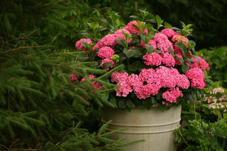 Grow these legendary flowering shrubs in a small space with HGTV Gardens' beautiful collection of easy-growing, dwarf hydrangea varieties.