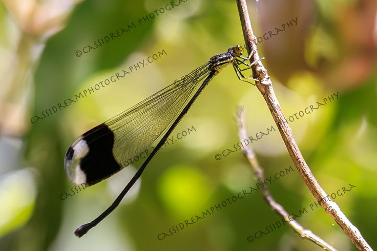 Dragonflycostarica insects costa rica