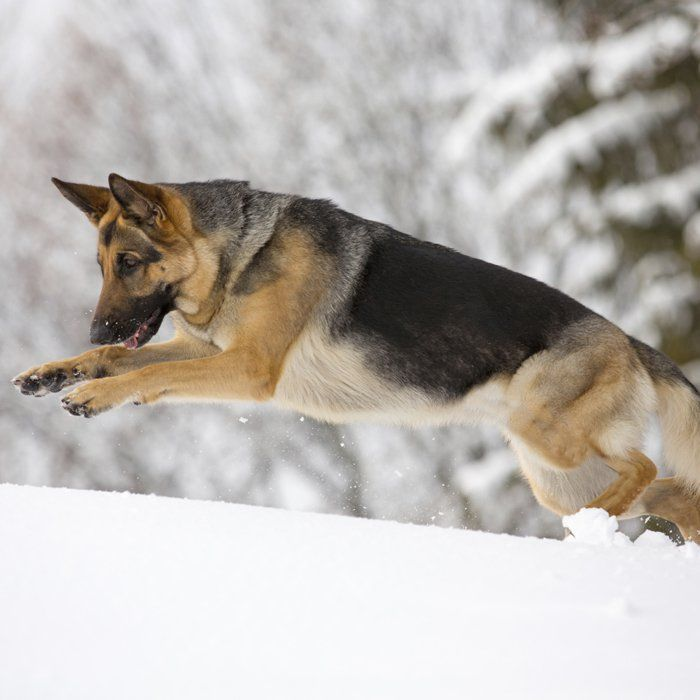 Running Dogs - German Shepherd