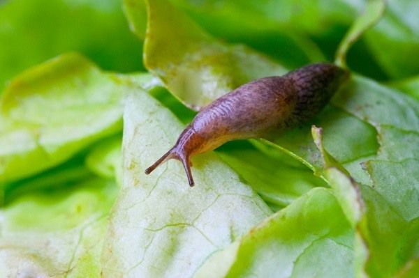Slugs can be one of the most annoying garden pests. If left uncontrolled, they can completely annihilate a healthy garden. If you notice lots of small holes in the leaves of your plants, you likely have a slug issue. No worries though, you can get rid of them using simple household items, some of which you likely have on hand. 1. Cornmeal For some reason,…   [read more]