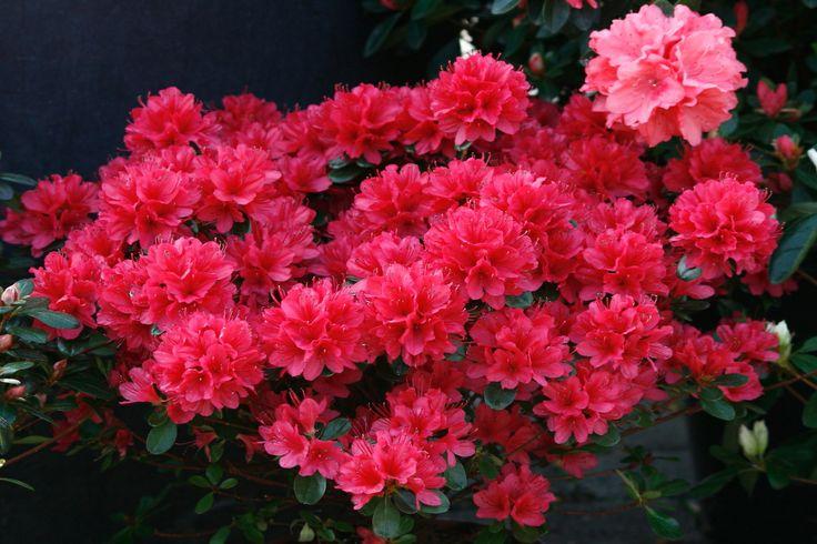 Azalea: arbusti sempreverdi, appartenenti al genere Rhododendron, diffusi su tutto il globo per la bellezza dei fiori, dai colori intensi che vanno dal bianco al rosso cupo, al violetto con una gamma infinita di sfumature rosa, lillà, gialle e arancio, http://www.mirettigiardini.com/portfolios/azalea/