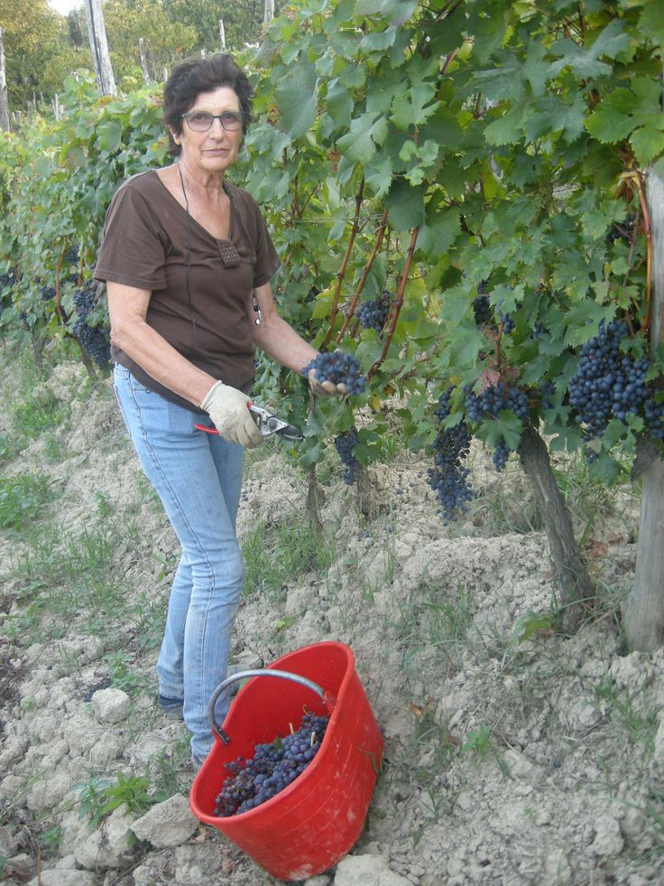Grapes Harvest in Tacchino Raffaele Wineyards in Piedmont - my mother working