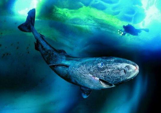 Eishai/ Grönlandhai - sie werden bis zu 200 Jahre alt und sind häufig blind (wg. Parasiten)