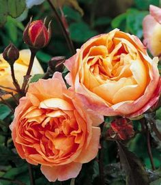 Gärtnerei Naturwuchs -- Englische Rosen (Austin-Rosen) -- Rosa 'Lady Emma Hamilton®' -- Austin-Rose                                                                                                                                                      Mehr