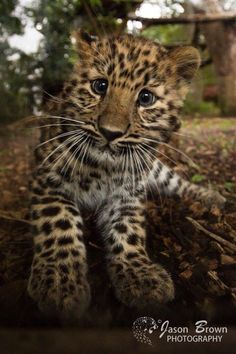 Amur Leopard cub at Marwell Zoo