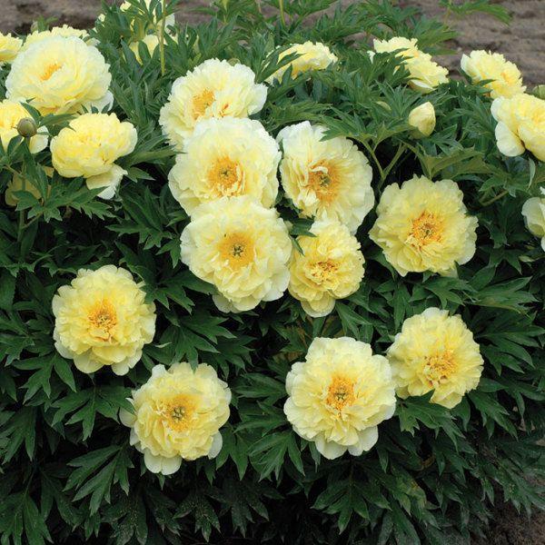 Bartzella Itoh Hybrid Peony In 2020 Itoh Peonies Yellow Peonies Peonies Garden