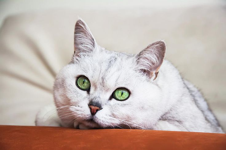 In the depths of your eyes by Svetlana Iso.     This is more than a glance of cat...   (Portrait ponderer resting on the sofa of light gray cat with beautiful big green eyes)    #SvetlanaIso #SvetlanaIsoFineArtPhotography #Photography #ArtForHome #InteriorDesign #FineArtPrints #Home #Gift #Cat #Love