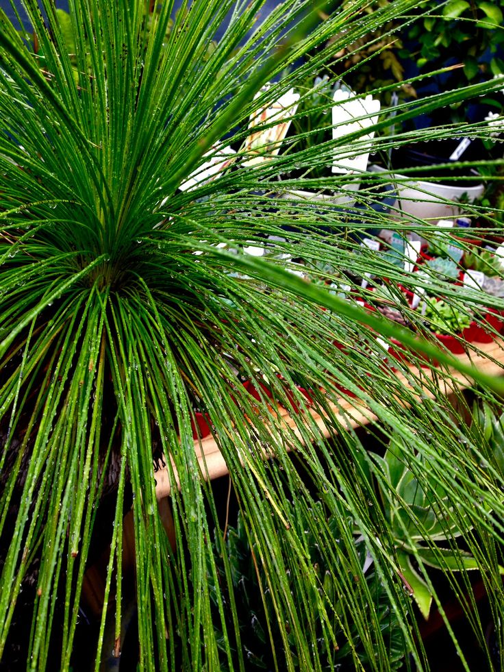 Who can't go pass a grass tree ? They are a beautiful native plant that grow extremely well In Queensland !