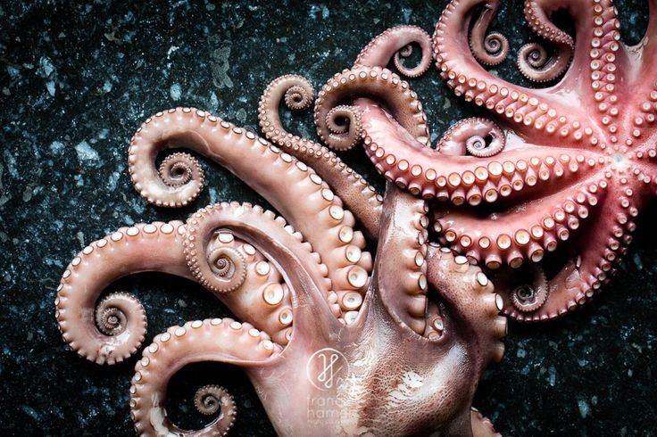 Poulpe – Octopus
