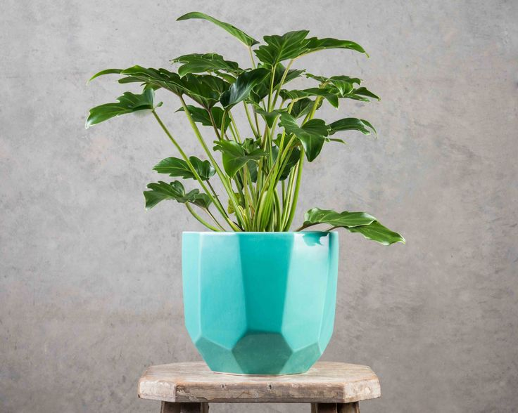Philodendron Xanadu - Cool name, cool plant