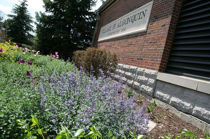 Lavender flowers outside Ganek Municipal Hall in #Algonquin #Illinois #flowers #blooming #summer #lavender #Algonquin #Illinois #GanekMunicipalCenter
