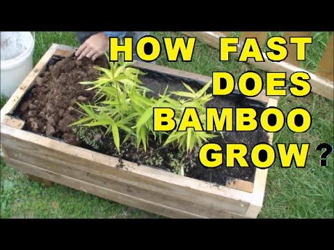 How Fast Does Bamboo Grow? - YouTube