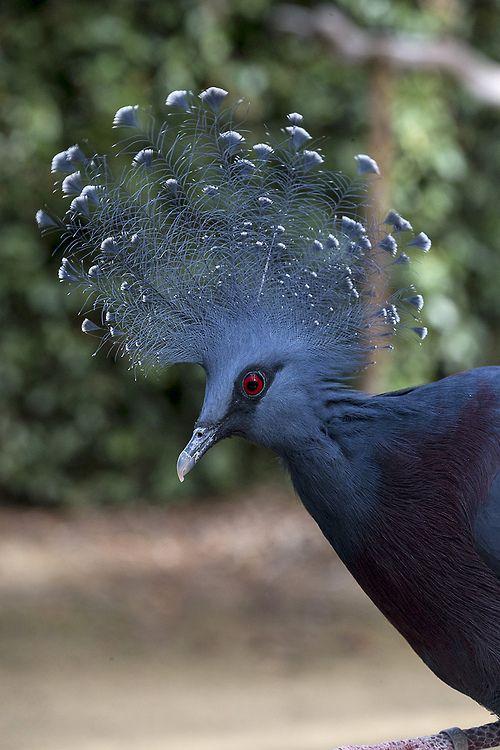 Victoria Crowned Pigeon (by San Diego Zoo Global)
