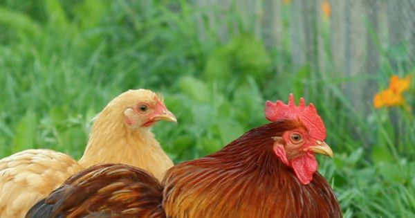 Hens, Chicken and Roosters on Pinterest