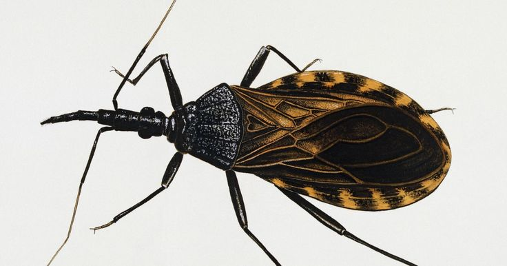 Remain Calm: Kissing Bugs Are Not Invading the US - Another vital scare that is really more like a meh.
