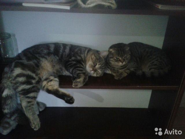 Котик прекрасный котенок пятнистый дев. фолд мрамо - купить, продать или отдать в Республике Башкортостан на Avito