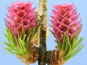 bach flower remedy larch, larch benefits, larch uses, larch symptoms, flower…