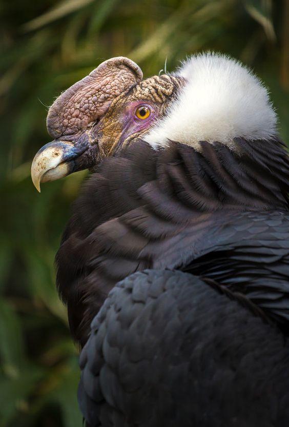 El cóndor andino, cóndor de los Andes o simplemente cóndor (Vultur gryphus) Los adultos llegan a medir hasta 142 cm de altura, y de 270 hasta 330 cm de envergadura, con una media de 283 cm, y pesan de 11 a 15 kg los machos y de 8 a 11 kg las hembras. Poseen la cabeza desnuda y relativamente pequeña, de color generalmente rojizo, aunque el mismo puede cambiar según el estado de ánimo del animal; pico de borde muy cortante y terminado en gancho.