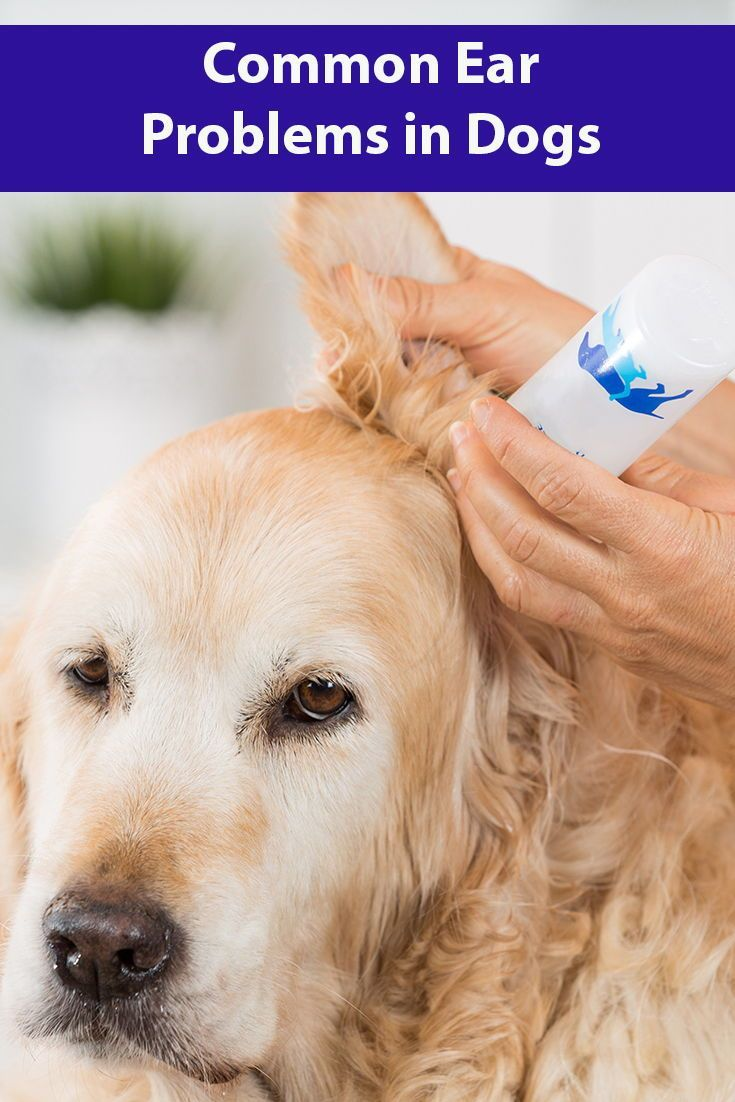 Common Ear Problems In Dogs Ear Problems In Dogs Dogs Dogs