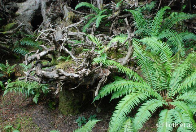 Ferns either have been planted or self-spored in the stump crevices.