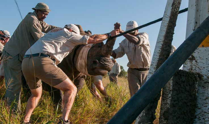 To Catch a Rhino: Capturing Animals