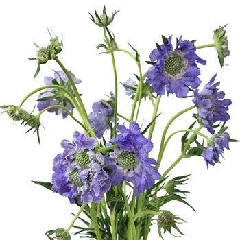 FiftyFlowers.com - Lavender Blue Scabiosa Flower
