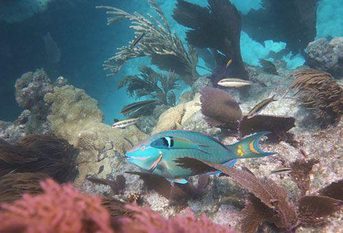 Snorkeling Healthy Looe Key Reef With Stoplight Parrotfish